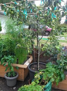 how to grow a peach tree in a container