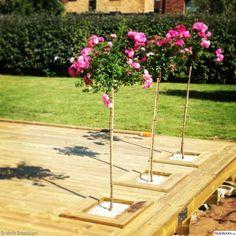rosenträd,rosor,infälld,altan,altandäck