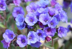 Pulmonaria 'Blue Ensign' lungwort: Position: partial shade Soil: humus-rich, moist, well-drained soil Rate of growth: average Flowering period: March to May Flower colour: blue-violet Other features: dark green, unspotted leaves Hardiness: fully hardy