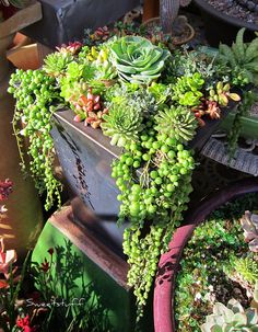When planting succulents in containers use commercial cactus soil, which usually contains finely milled peat and sand. Growing Succulents, Succulents In Containers, Cacti And Succulents, Planting Succulents, Planting Flowers, Container Flowers, Container Plants, Succulent Gardening, Succulent Pots
