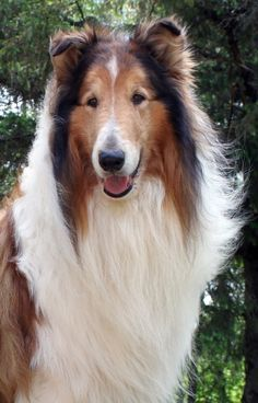 Northern Classic Collies