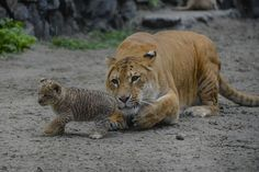 In this Tuesday, June 18, 2013 photo Zita, a liger - half-lioness, half-tiger - watches her one month old liliger cub in the Novosibirsk Zoo. The cub's father is a lion, Sam. (AP Photo /Ilnar Salakhiev) | 3 little liligers cavort at Russian zoo - Yahoo! News