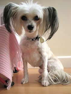 chinese crested- I also like this for Scarlett.