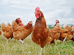 Demand for cage-free eggs is soaring. But it took a long time to put hens in a cage. It's going to take a while to figure out how to get them all back out.