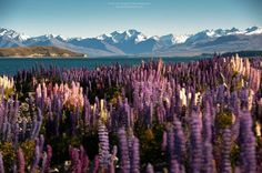 Flowering of Lupins in Lake Tekapo, New Zealand