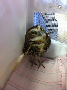 This owl was found injured and in need of medical attention in a client's back yard. Dr. Jensen, our exotic vet at Affordable Pet Care, N.W., has rehabilitated him, and the owl will be relocated to an animal orphanage. To learn more about this cute owl, go to apcnw.com!