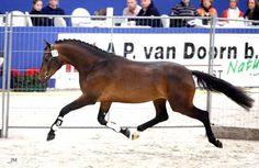 KWPN Stallion - Ampere