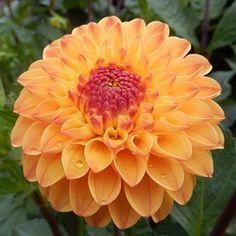 Orange Flowers, Dahlia Flowers, Orange You Glad, Language Of Flowers, Types Of Flowers, Planting Flowers, Beautiful Flowers, Bloom, Nature