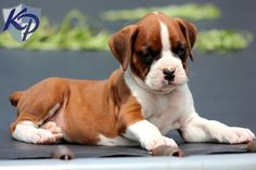Thor – Boxer Puppies for Sale in PA | Keystone Puppies