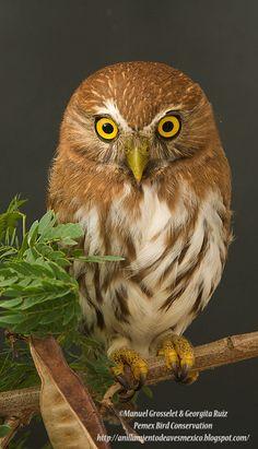 Ferruginous Pygmy Owl ~ © Manuel Grosselet & Georgita Ruiz