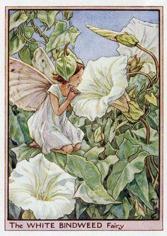 Wit Bindweed Flower Fairy Vintage Print, c.1950 Cicely Mary Barker-boekillustratie plaat
