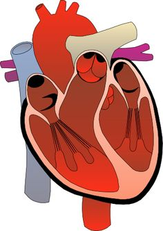 heart medical diagram 1