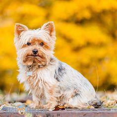 Es ist Sommer Sommer Sommer! Und was mach ich? Poste ein Herbstbild... aber sieht man ja nich soooo dolle oder? Ich mag die Farben...  Und ich gestehe das ich schönes Wetter in jeder anderen Jahreszeit lieber hab als im Sommer... 35 Grad im Schatten ist für mich einfach nix!   #Hund #Hundeliebe #yorkie #yorkshireterrier #terrier #yorkiegram #yorkiedeutschland #terrierliebe #hundefotos #hundetricks #jena #germanblogger #hundeblog #blogger_de #instablogger_de #yorkieliebe #yorkiemama…