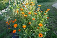 though now i've got some calendula the orange geum's safe for the moment...