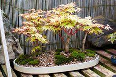 Árvores bonsai de Stephen. Grupo de bordos de casca coral. Stephen é membro da Sociedade Norte-irlandesa de Bonsai. Fotografia: Mariusz.and no Flickr.