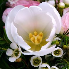 https://flic.kr/p/62D2ek | Fresh from the heart ♥ | Explore - February 22, 2009 (#25) and Front Page! Thanks to all!  Do tulips have hearts? After I started looking at this snow-white herald of spring, I don't think there's any question about it...  Have a wonderful Sunday and fresh start into the new week!  Heart of darkness and light...