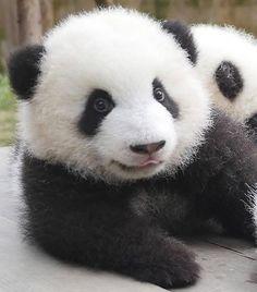 Giant Panda Meng Lan at Chengdu Reaearch Base of Giant Panda Breeding Panda Love, Cute Panda, Panda Panda, Red Panda, Cute Baby Animals, Animals And Pets, Wild Animals, Baby Panda Bears, Baby Pandas