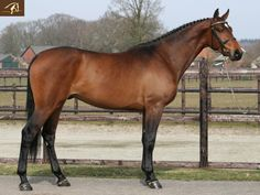 Jumper for Sale - Warmblood Washington - Gelding horse for sale | Benny de Ruiter Stables