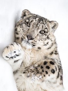 Playful Snow Leopard by Abeselom Zerit