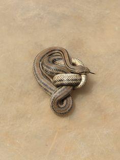 knotted snake. alec soth