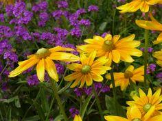 #Natur #Blumen #Pflanzen #Garten #Gelb #violett #grün