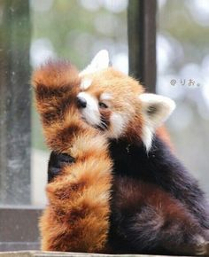 Sniff the tail Cute Funny Animals, Cute Baby Animals, Animals And Pets, Cute Dogs, Red Panda Cute, Panda Love, Spirit Animal, Animal Photography, Animals Beautiful