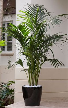 Elegant Kentia Palm A premium plant! Kentia palm is an elegant plant that eagerly thrives indoors yet grows relatively slowly so it can be enjoyed for many years. You'll regard this palm as a stylish addition to your room, adding lush color and graceful fronds.  Botanic name: Howea fosteriana  Care tip: Kentia palms are colder tolerant than some other palms, and can thrive in cold dips to 10 degrees F.
