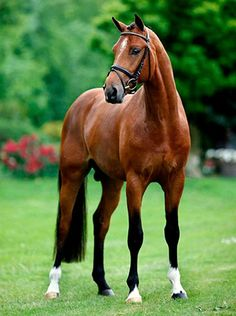 KWPN Dutch warmblood stallion, Bustique.