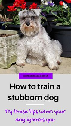 Do you think your dog is stubborn? Do they often ignore commands when you know they understand? Your dog may be rebellious but there could be other reasons they don't listen. Find out how to curb unwanted behaviours when your dog wont listen and get a reliable response every time. #obediencetraining #dogtips #dogownertips #doglovers #dogmom #dogcare #dogtraining #stubborndog #dogs #dogadvice via @gonedogmad1.