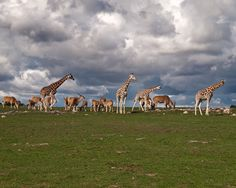 Grazing Animals #giraffe #eland #africanlionsafari