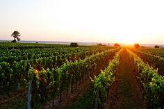 Vineyards in Burgenland