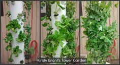 Have a look at Kirsty Grant's, Tower Garden progression #Growing #TGShowcase #TGSeason #FeaturedTG