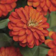 Double Fire Zahara Zinnia- Masses of fully double, 2-1/2 inch, fiery orange blooms cover these rounded 12 to 14 inch plants from spring to the end of the growing season. Zinnias are among the most easy-care flowers, requiring little garden maintenance. Zahara zinnias have proven leaf spot and mildew resistance. As a result, they reliably offer season-long performance, thriving in full sun and summer heat. Flowers 60 to 65 days from sowing.