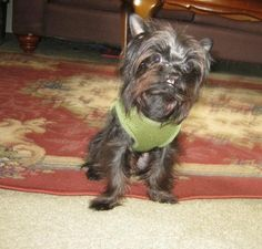 """My cleft palate chorkie,Houston. His survival story is nothing but a miracle. 11 months old, 5 pounds.My little love,my """"child"""".He makesme smile."""