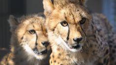 Zoológico de Miami recebe novos chitas