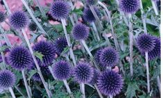 Echinops ritro 'Veitch's Blue' Bright blue globe like flower heads on tall stems in July and August. Grey green thistle like leaves, white beneath. Height 80cm. Spread 60cm. Full sun, well drained soil.