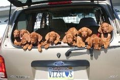 carload of Vizsla puppies! Even the registration plate spells VIZSLA! Vizsla Puppies, Cute Puppies, Dogs And Puppies, Animals And Pets, Baby Animals, Cute Animals, I Love Dogs, Puppy Love, Pet Dogs