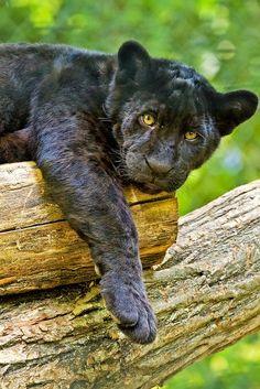 ~~Hanging Around !  Black Jaguar Cub - Zoo Beauval France by wendy salisbury~~