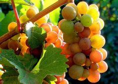 """Vitigno Pinot grigio - è una mutazione genetica del Pinot nero - appartiene al gruppo di vitigni cosidetti """"internazionali"""", di origine francese ed ampiamente coltivati in tutto il mondo. In Italia è stato ampiamente coltivato, con produzioni di masse di assoluto rilievo, soprattutto in Trentino e nel Veneto"""