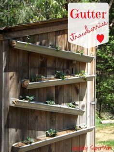 day2day SuperMom: Grow Your Own Gutter Strawberries ~ GreenThumb Thursday