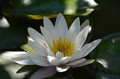 Water Lily, White, Waterplant