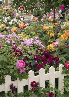 David Austin English Roses at the Chelsea Flower Show Chelsea Flower Show, Rosas David Austin, Beautiful Gardens, Beautiful Flowers, Exotic Flowers, Purple Flowers, Pretty Roses, Beautiful Beautiful, Rose Garden Design