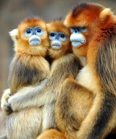 Golden Monkeys try so hard not to be cute until they are blue in the face. Don't call them snub-nosed, they are just shy and come across that way.