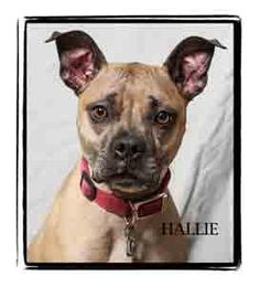 Hallie is an adoptable Boxer searching for a forever family near Warren, PA. Use Petfinder to find adoptable pets in your area.