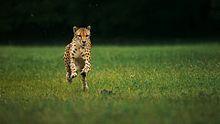 Bestand:Cheetahs on the Edge (Director's Cut).ogv