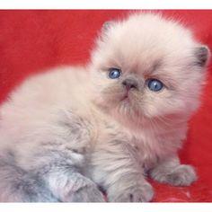 This pretty Burmese kitten. Fluffy Kittens, Cats And Kittens, Burmese Kittens, Animals Beautiful, Cute Animals, Black Cat Tattoos, Tattoo Black, Cute Cats Photos, Himalayan Cat