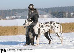 Great Dane in snow | Hunde » Deutsche Dogge » AP-04468
