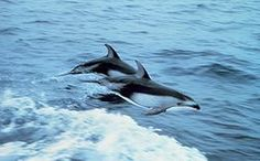 Witgestreepte Dolfijn