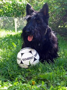 They're always down to play. | 21 Reasons Scottish Terriers Are The Champions Of Our Heart
