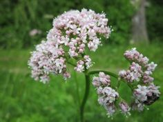 Valerian Herb - Best Natural Remedies For Insomnia Herbal Remedies, Natural Remedies, Combattre Le Stress, Reduce Stress, Natural Sleeping Pills, Troubles Digestifs, Chlorophytum, Growing Herbs, Companion Planting